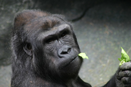 Gorilla w/ food | by dvandae