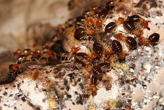 Termites on a tree mushroom