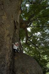 zelkova big tree | by peaboat