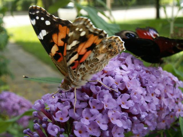 Schmetterling lebe wohl  so klingt ein Tönen mir aus der Ferne traut, Stimme, liebe Stimme, noch einen einzigen Laut, umsonst hinweggetragen hat sie der Wolkenwagen, ich steh und blicke hinab auf Dresden 122