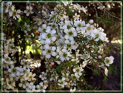 Leptospermum sp. | by Tatters ✾