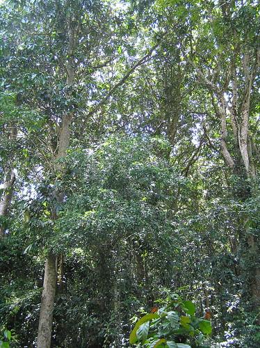 Mon, 03/12/2007 - 14:32 - Monodominant forest understorey. Credit: CTFS