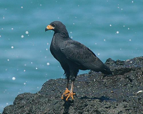 Common Black-Hawk | by VicBurolla