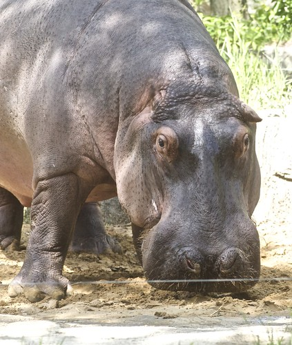 Hippopotamus | by Just chaos