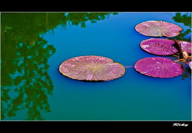 Nenufar II - Water Lily II
