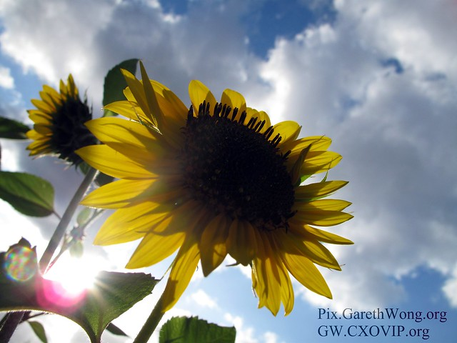 close up of SunFlower from below (with 1 flower behind out of focus) with sun shining through