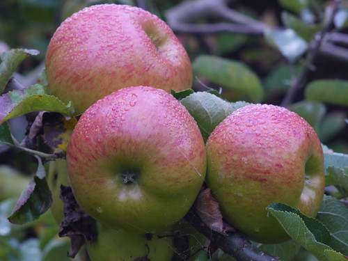 Bramley's Seedling Apples Ready for Picking | by D H Wright