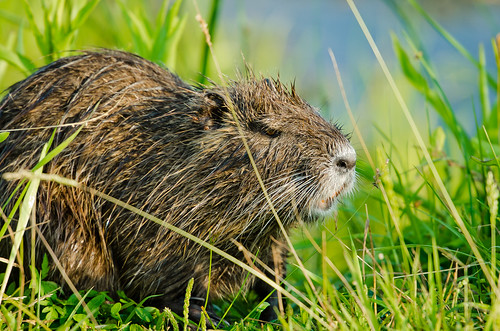 Mosquito Alley: Nutria Salad | by Entropic Remnants