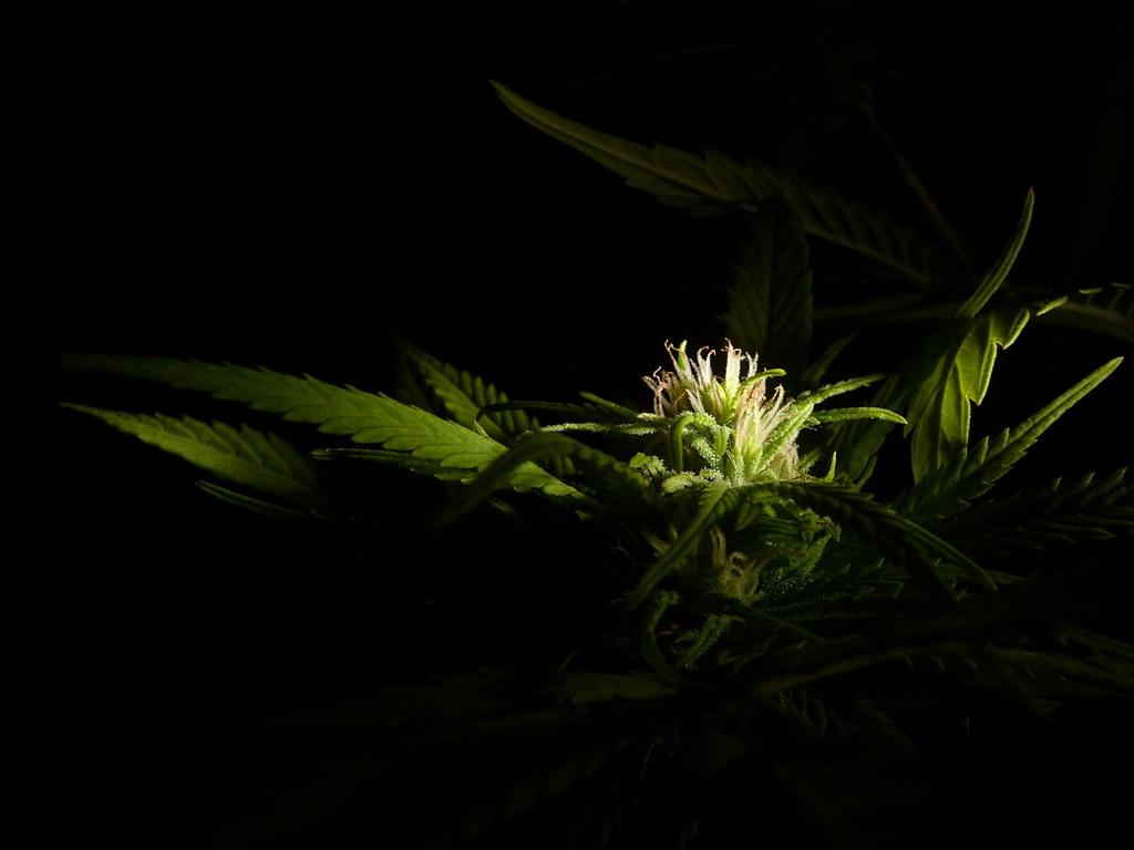 Cannabis wallpaper a high resolution image of a cannabis - Free marijuana desktop backgrounds ...