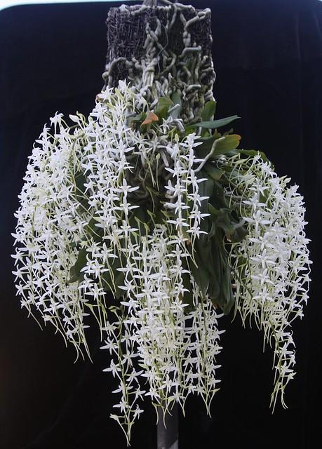 Mystacidium capense 'Carrie Chu' FCC-CCE/AOS