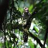 Collared Forest-Falcon/Falcão-relógio/Halcón montés de collarejo (Micrastur semitorquatus) by Héctor Bottai