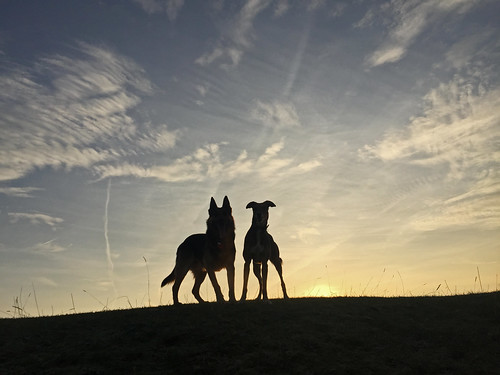 rescuespainspanishshadowdogbestfriendlovegsdlurcherfastspeedstrengthathletehappy dogs silhouette german shepherd alsation wolf friends sunrise winter minchinhampton common torro cardboard cutouts horizon