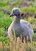 emperor goose (chen canagica) by punkbirdr