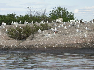 Herring Gull colony | by K.P. McFarland