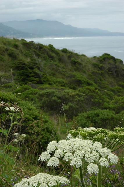 Queen Anne's Lace, coastal hillside, Pacific Ocean, Oregon, USA