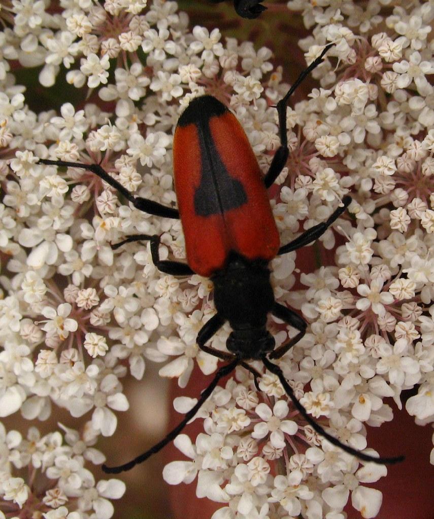 Cerambycidae - Leptura cordiger