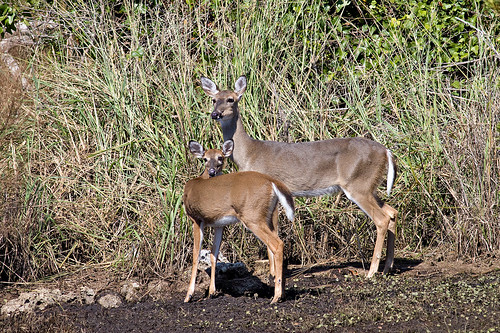 white classic canon pose mom island photo nc tail north mother doe deer fawn photograph carolina emerald 50d explorer465 familygetty