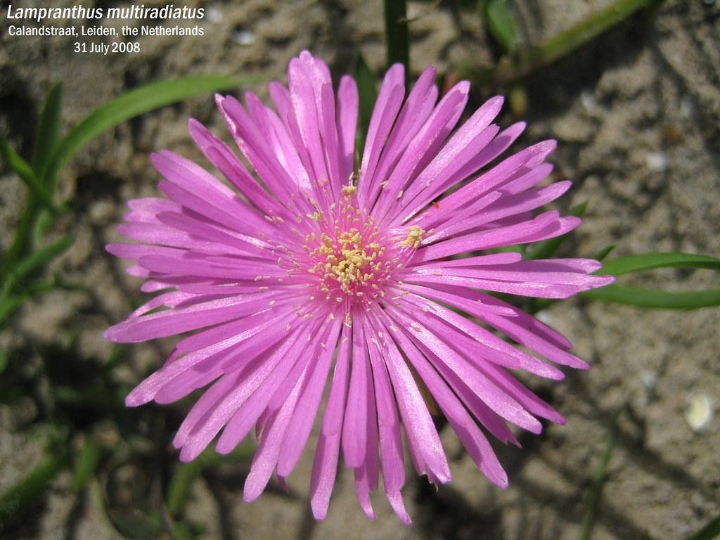 Lampranthus multiradiatus - Calandstraat, Leiden, NL 31 Jul 2008 02 Leo
