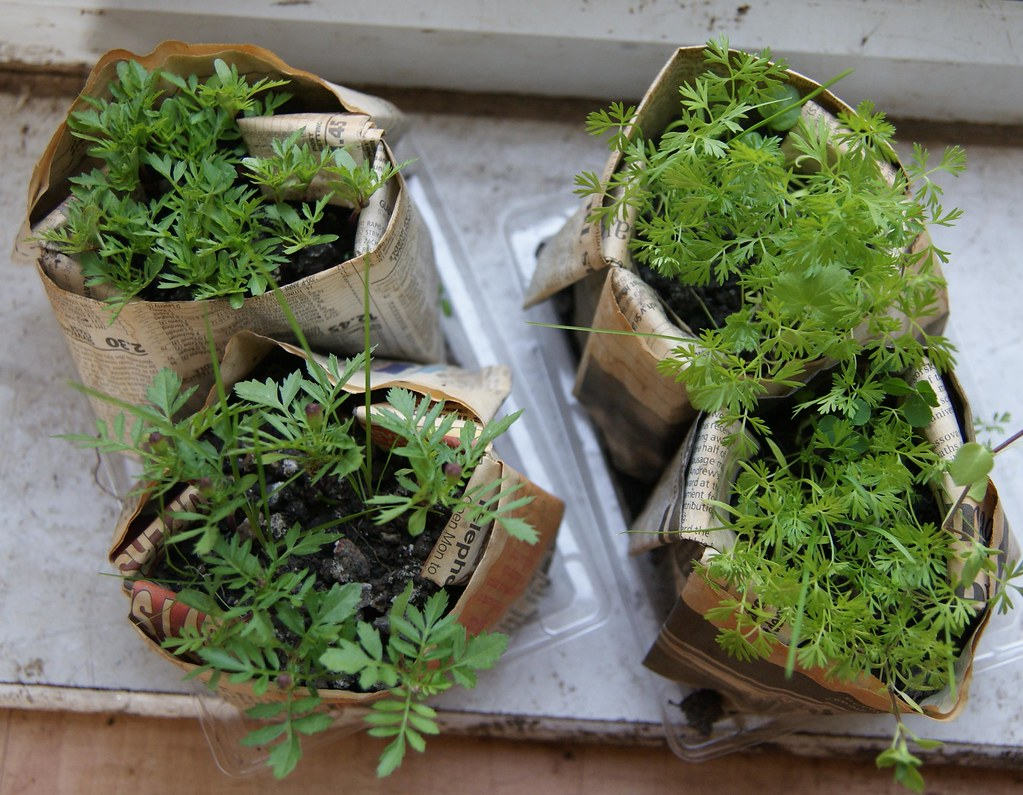 Marigold And Carrot Seedlings Ready For Planting After One Flickr