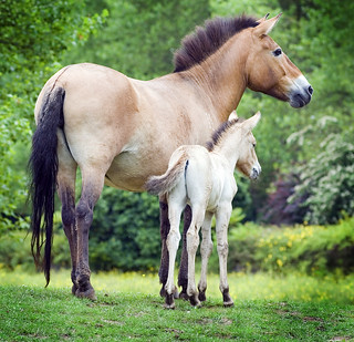Przewalski's Horse Mare and Foal | by Steve Wilson - over 10 million views Thanks !!