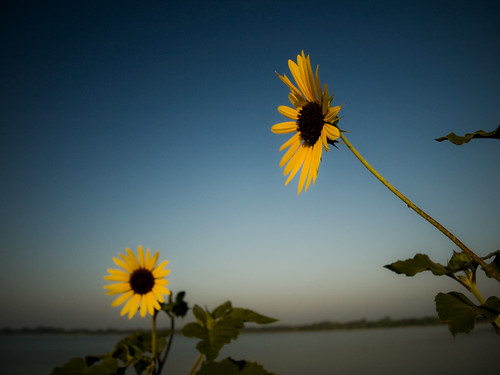 morning sky lake flower water yellow sunrise colorful texas olympus sunflower tall greenvilletexas e410 gtowneric
