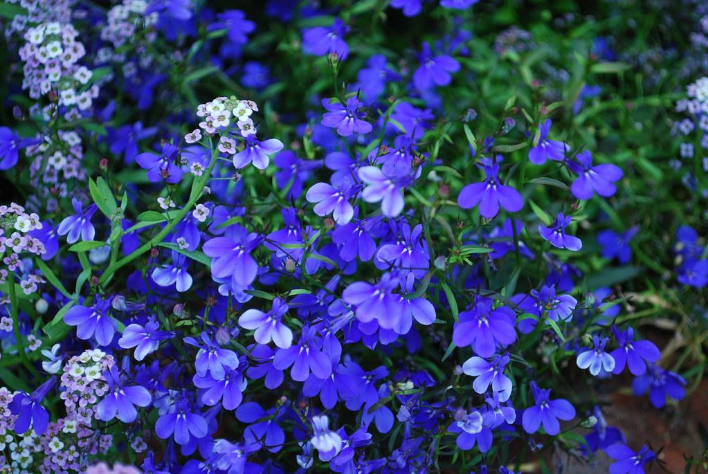 Fiori Blu.Piccoli Fiori Blu Foncoppen Flickr