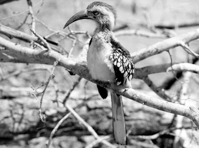 Hornbill in the Kruger National Park  (1955)