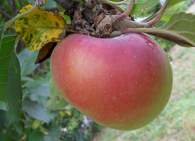 Première pomme chez Serge
