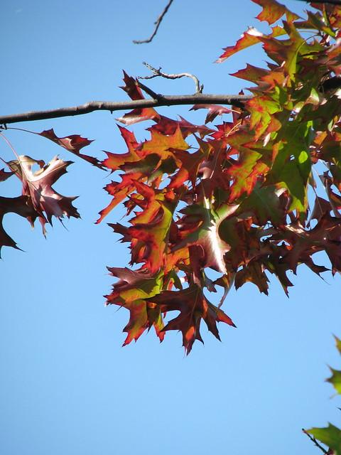 Quercus palustris_4505