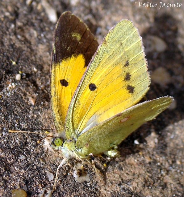 Maravilha // Clouded Yellow (Colias croceus), female
