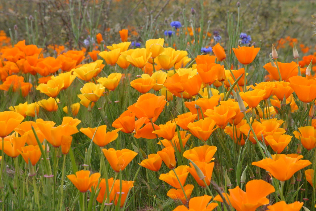 Yellow And Orange Poppies And Bachelor Button Flowers Flickr