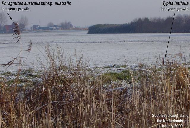 Typha latifolia (Common Cattail) and Phragmites australis subsp. australis - SE Kaag is., NL 11 Jan 2009 Glynis