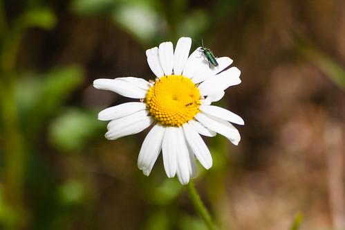 Ox-eye daisy with beetle