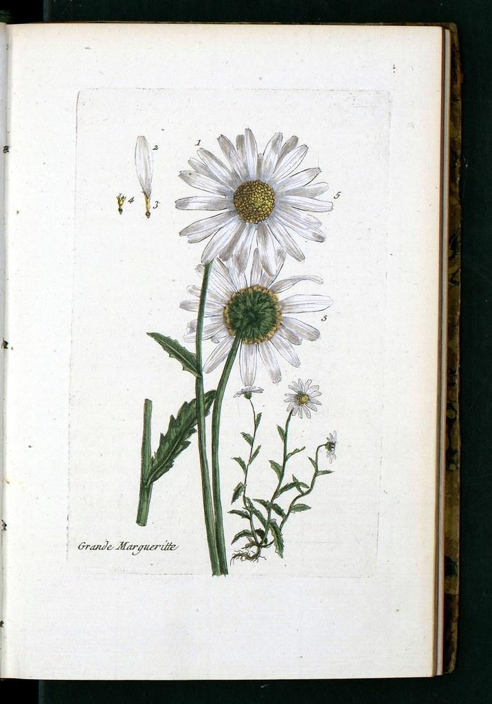 Flore Des Environs Paris Daisy Public Domain