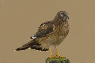 "Northern Harrier - Circus cyaneus | by Gregory ""Slobirdr"" Smith"