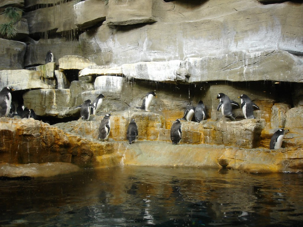 Penguins at Shedd Aquarium | Pinguine im Shedd Aquarium ...