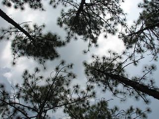 Sky Trees Weymouth Woods NC SP 0179
