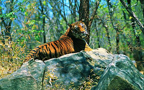 Tiger spotting in Wayanad Wildlife Sanctuary