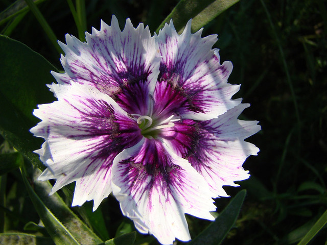 Oeillet mignardise-violet et blanc.