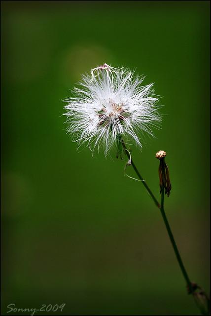 Bunga Ilalang Sonny Flickr