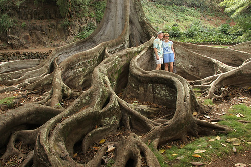 tree scale nature giant bay branch fig roots large fork system foundation ficus growth anchor huge trunk network branching moreton banyon macrophylla