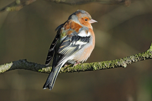 Chaffinch (Fringilla coelebs) Male on a Branch at Far Ings