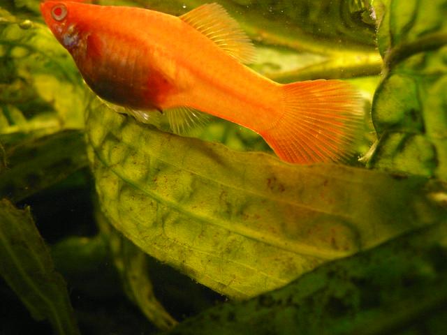 Pregnant Swordtail I