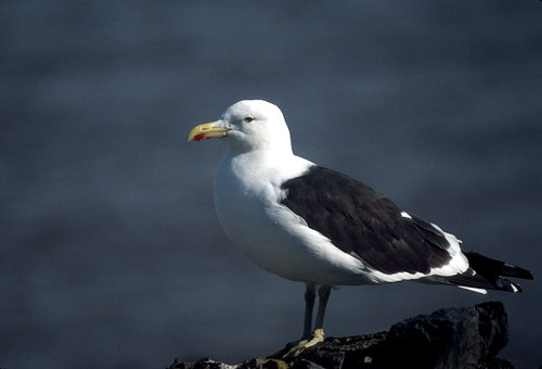Kelp Gull, Hannah Point Antarctica | by brad.schram
