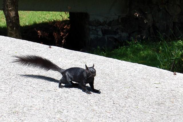 Black Squirrel on UNAM Campus
