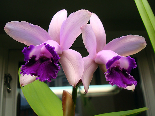 Cattleya intermedia var. orlata | by orchidkarma