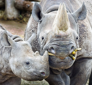 Black Rhino Mother and Baby | by Steve Wilson - over 10 million views Thanks !!