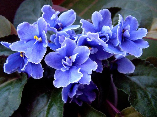 African Violet | by leslie.dray