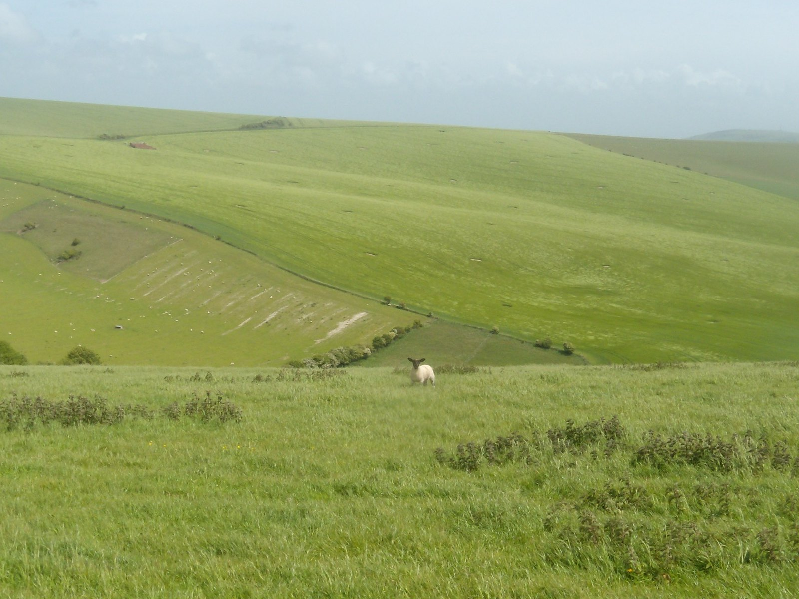 Lone sheep Southease to Rottingdean