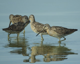 Becasa [Dowitcher] (Limnodromus sp) | by barloventomagico
